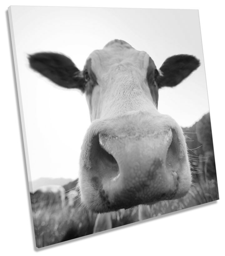 Farm Cow Face B/&W SQUARE CANVAS WALL ART Picture Print